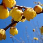 宝登山で蝋梅を、寶登山神社で安全登山を祈願
