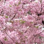 一足先に桜を見る